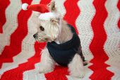 Small dog Christmas. A Morkie half Maltese - Yorkie dog smiles for his Christmas Portrait. Small Dog in a Santa Claus hat with a Red and White Background.   poster