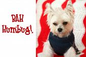 """FUNNY Small dog Christmas. A Morkie half Maltese - Yorkie dog smiles for his Christmas Portrait.  Small dog is Mad at his photo shoot. Christmas Text reads """"Bah Humbug!""""  Text is replaceable. poster"""