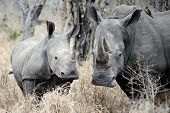 Mother Rhino is watchful and protects her youngster poster