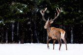 Winter wildlife landscape. Noble deer Cervus Elaphus. Back of deer in winter forest. Deer with large horns with snow poster