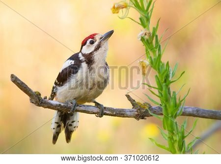 Greater Spotted Woodpecker, Dendrocopos Major. In The Early Morning, A Young Bird Sat On A Branch Ne