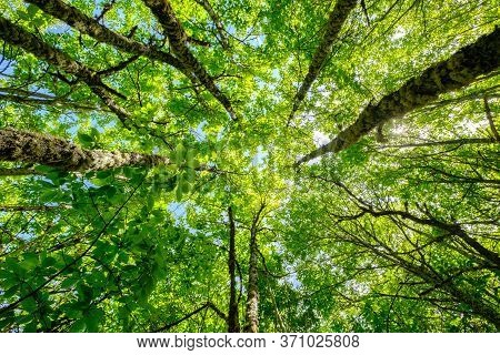 Trees Upward Nadir View To Height In Forest, Growth And Progress Of Nature Concept Reach The Light A
