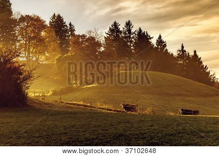 An image of a nice autumn light with two cows