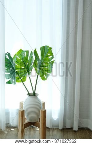 Monstera Plant In Ceramic Vase Beside See Through Sheer Window Curtain. Split Leaf Philodendron (mon
