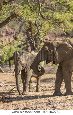 Two African Desert Elephants Cross A Dried River Bed In Namibia Looking For Food.