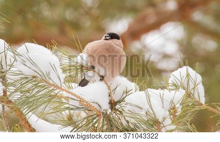 Common Bullfinch, Pyrrhula Pyrrhula. A Frosty Winter Day. Female Bird Sits On A Pine Branch And Eats