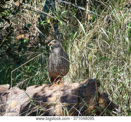 Partridge Bird Sitting On A Rock And Looking Around In A Nature Reserve Near Middelburg In The Mpumu