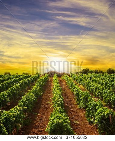 landscape vineyard row at sunset in Sicily countryside
