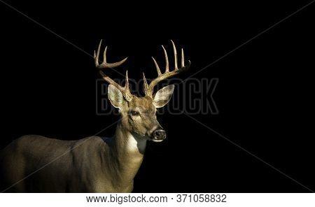 Large 12-point Whitetail Deer Buck In A Meadow In Jefferson Barracks National Cemetery In St, Louis,