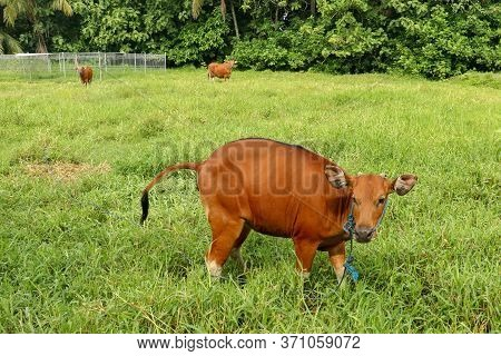 Brown Cow Standing In Green Field And Defecate Into Tall Grass. Young Heifer Looks Arround. Beef Cat