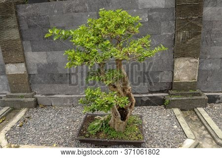 Young Ornamental Bonsai Plant In A Pot On Natural Stones. The Deciduous Bonsai Decorates The Stone W