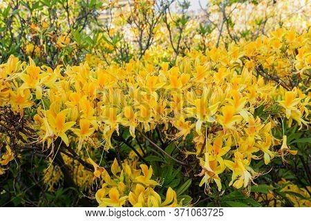 Yellow Rhododendron Luteum Aka Yellow Azalea Or Honeysuckle Azalea. Bush Of Delicate Yellow And Pink