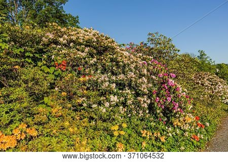Beautiful Outdoor Floral Background With Yellow And Pink Rhododendrons. Bush Of Delicate Yellow And