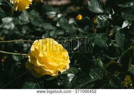 Growing Rose With Yellow Bud.growing Rose With Yellow Bud