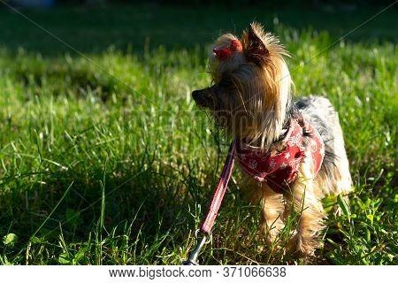 Yorkshire Terrier On Grass Background.yorkshire Terrier On Grass Background