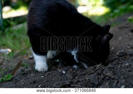 Cat Carefully Sniffing The Ground.cat Carefully Sniffing The Ground
