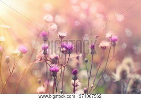 Beautiful Flowering, Blooming Thistle (burdock) In Meadow, Purple Flowers Lit By Sun Rays - Beautifu