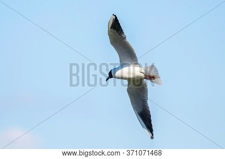 Flying Gull, Black-headed Gull (larus Ridibundus)