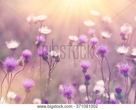 Beautiful Flower, Beautiful Nature, Flowering Purple Flower Of Thistle, Flowers Of Burdock Lit By Su