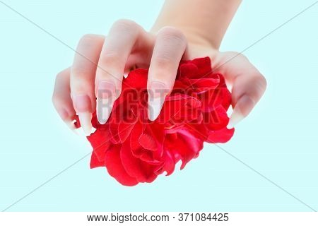 Natural Manicure Nails. Beautiful Girl Hands Holding Red Rose. Rose In The Hands Girl Close-up. Beau