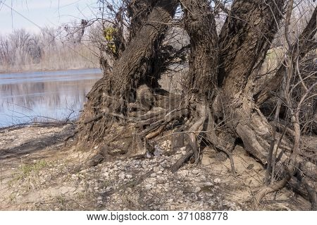 The Roots Of Old Trees Wrapped Together. Large Trees Along The River Are Connected By Roots.
