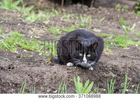 A Big Cat Is Sitting On The Ground. The Cat With Yellow Eyes Looks At The Camera.