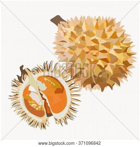 Fresh Durian Cut Into Pieces. Vector Fresh Durian Cut Into Pieces. Vector Stock Illustration Of A Tr