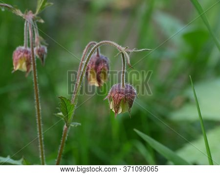 Flowers Geum Rivale Close-up, Medicinal Plant Used In Folk Medicine