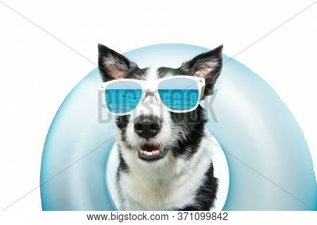 Dog Border Collie Summer Going On Vacation Inside Of Blue Inflatable Float Pool And Wearing Sunglass