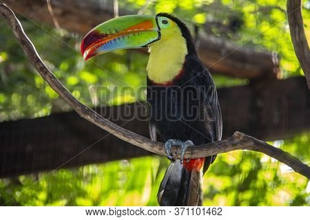 Colorful Toucan In The Tropical Rain-forest Aviary