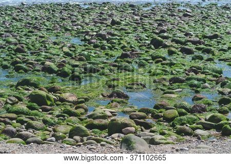 A Mass Of Seaweed And Seagrass At Low Tide On The Beach.