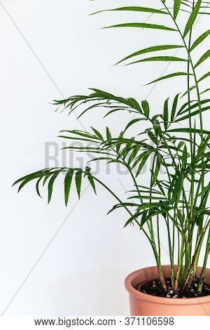 Close-up On The Delicate Feathery Leaves Of A Small Parlour Palm (chamaedorea Elegans) Houseplant On