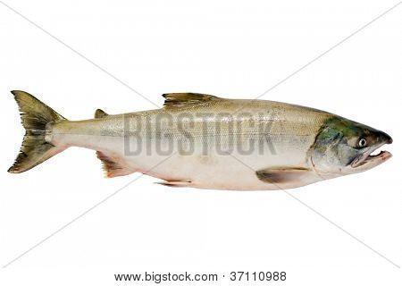 Pacific chum salmon, fresh caught mature male.
