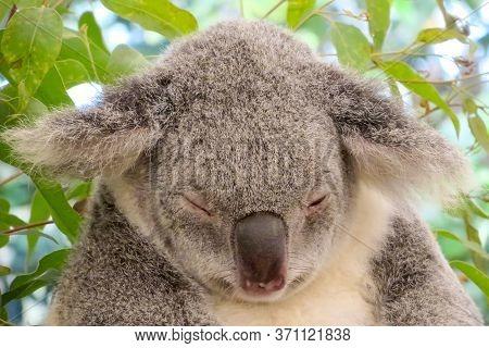 Cute Koala Bear Sleeping Near Eucalyptus Leaves In Lone Pine Koala Sanctuary In Brisbane City, Queen