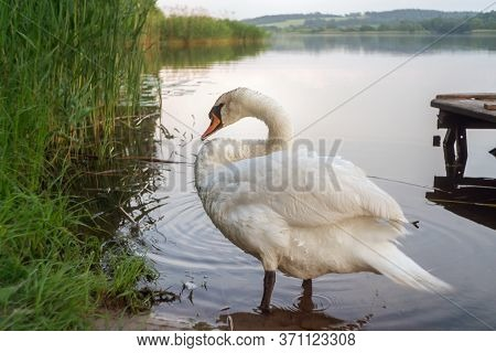 Beautiful White Swan At The Shore Of Water Pond In Summer