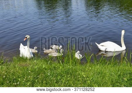 A Family Of Sibilant Swans With Chicks Swim Near The Shore. Small Swans With Adult Geese In The Pond
