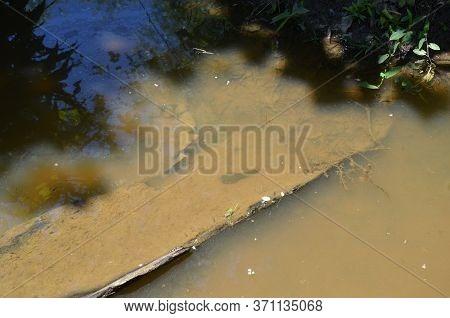 Bullfrog Tadpoles In Muddy River Or Pond Water