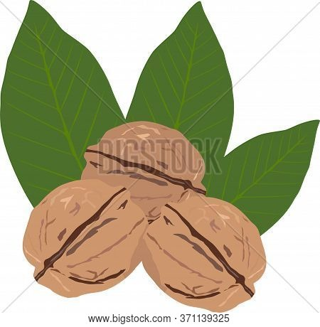 Walnuts Three Pieces With Leaves Isolate On White Vector Drawing