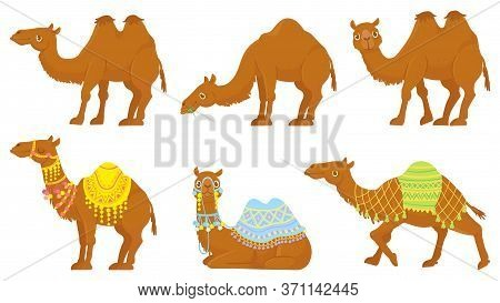 Camels. Wild And Domesticated Desert Caravan Animals With Saddle. Camel With Decorated Seat For Ride