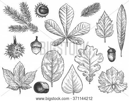 Sketch Fall Leaves. Outlined Autumn Forest Plants Foliage Such As October Oak, Acorn And Chestnut, M