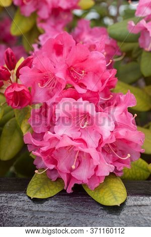 An Alpen Rose A Species Of Rhododendron With The Botanical Name Rhododendron Ferrugineum
