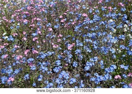 Pink And Blue Forget-me-nots Botanical Name Myosotis Arvensis