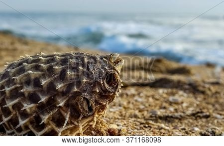 Dead Puffer Fish Washed Up On Beach. Long-spine Porcupinefish Also Know As Spiny Balloonfish - Diodo
