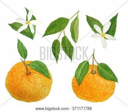 Watercolor Hand Drawn Illustration Of Bright Orange Tangerine Mandarine Citrus Fruits With Vibrant G