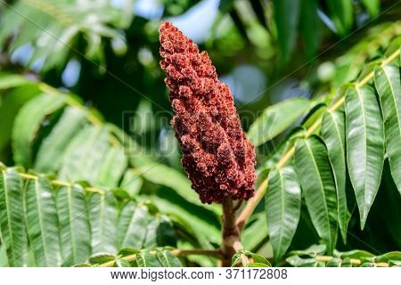 Sumac Fruit In The Autumn Season, Commonly Known As Sumach Or Sumaq, In A Garden In A Sunny Autumn D