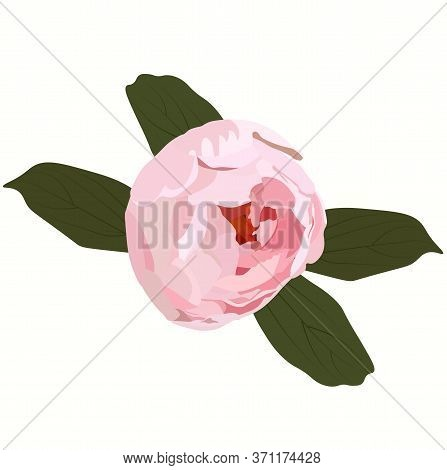 Vector Botanical Stock Illustration Of The Ranunculus Flower. Delicate Pink Bud With Isolated Leaves