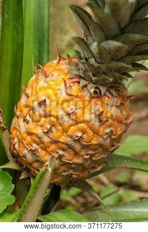 Close Up Of Young Ripening Pineapple In Tropical Jungle On Bali Island. Pineapple Comosus Ripens And