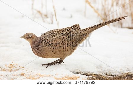 Common Pheasant, Phasianus Colchicus. On A Frosty Winter Morning, A Bird Stands In The Snow And Eats