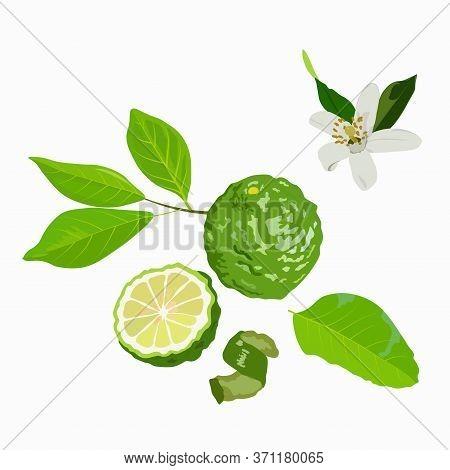 Vector Stock Illustration Of Bergamot. Green Citrus Fruit And Bergamot Flower Peel And Leaves. For L