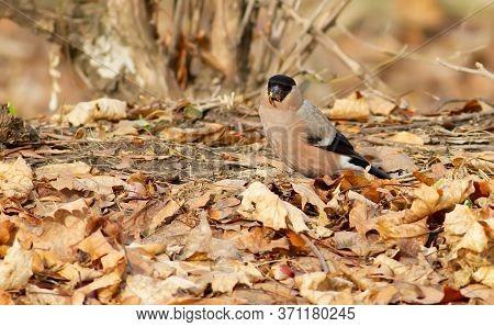 Common Bullfinch, Pyrrhula Pyrrhula. Female Bird Walks In The Forest On The Ground And Eats Maple Se